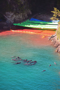 A pod of what appear to be pilot whale dolphins swim in a sealed off area just after the first dolphin cull of the season has taken place in Taiji, a small fishing village in Wakayama Prefecture, Japan on 10 September 2009. Floating upside-down at top right of the picture, where the rocky cliff meets the water and the yellow inflatable floats, is the discarded body of a baby bottle nose dolphin. Photographer: Rob Gilhooly